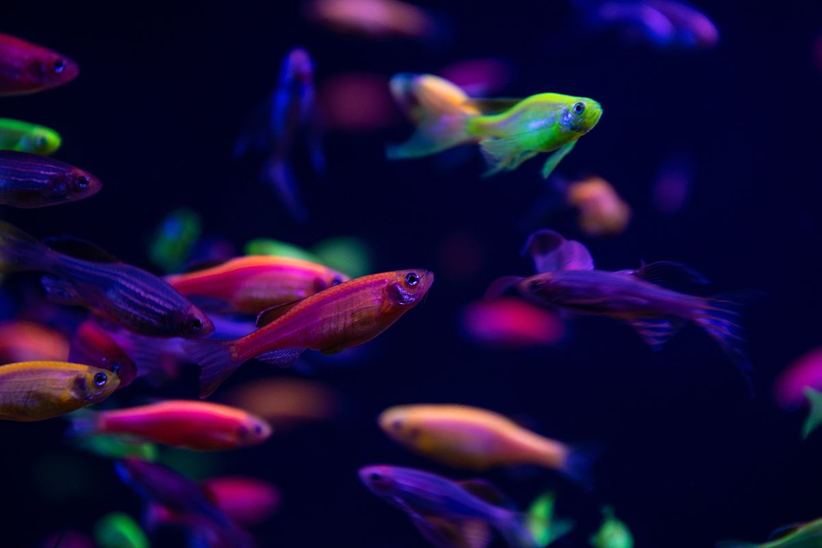 Neon glow fish color freshwater  aquarium pets home aqua