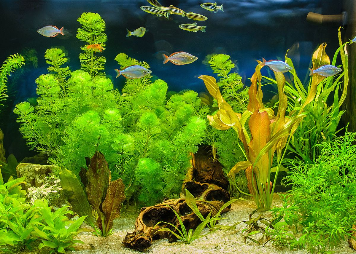 The view of freshwater aquarium with tropical fishes, shrimps and water plants